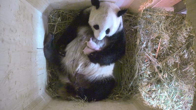 1_Pandazwillinge3