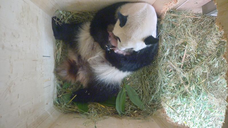 5_Pandazwillinge6