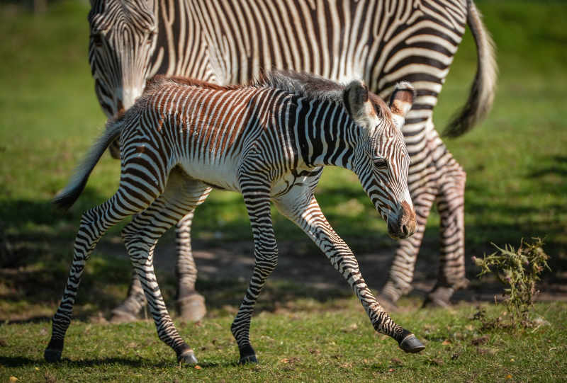 Adorable one-day-old zebra foal born at Chester Zoo to mum, Flo.  (41)