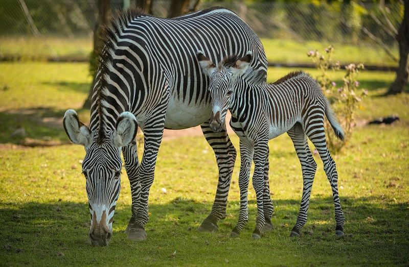 Adorable one-day-old zebra foal born at Chester Zoo to mum, Flo.  (23)