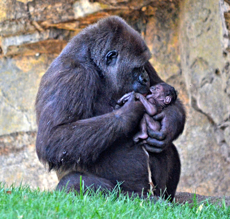Zoo guests witness gorilla birth zooborns - Bioparc de valencia ...