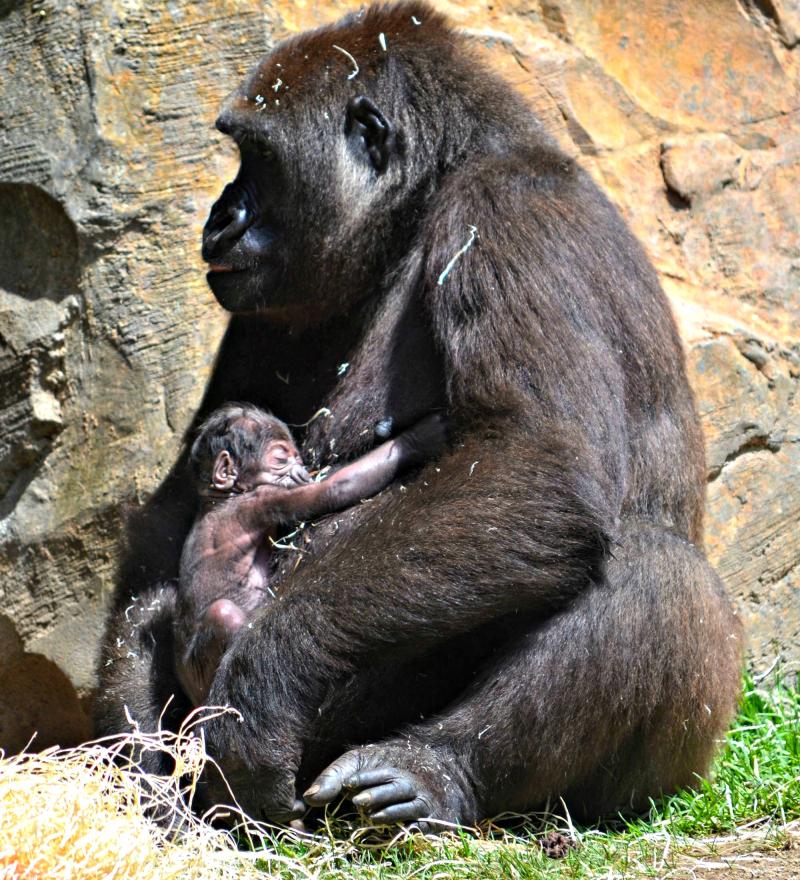 Gorila recién nacido en BIOPARC Valencia - 17 agosto 2016 (6)