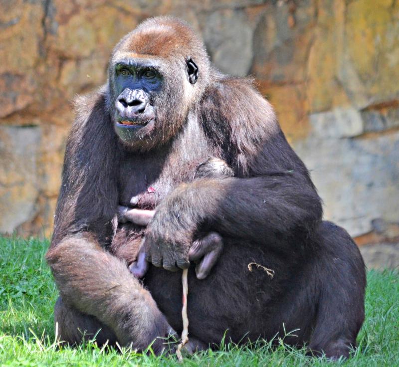Gorila recién nacido en BIOPARC Valencia - 17 agosto 2016 (7)