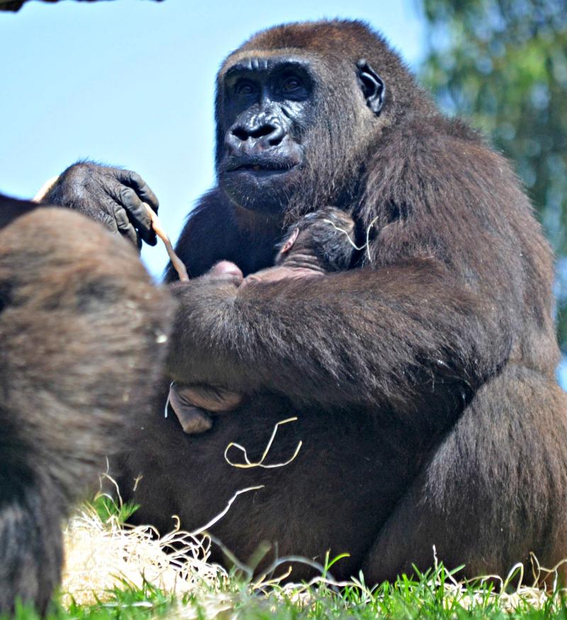 Gorila recién nacido en BIOPARC Valencia - 17 agosto 2016 (5)