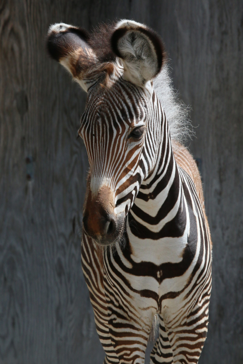 1_TZ_GrevysZebraFoal_Photo Credit - C.Thompson, Toronto Zoo - 4