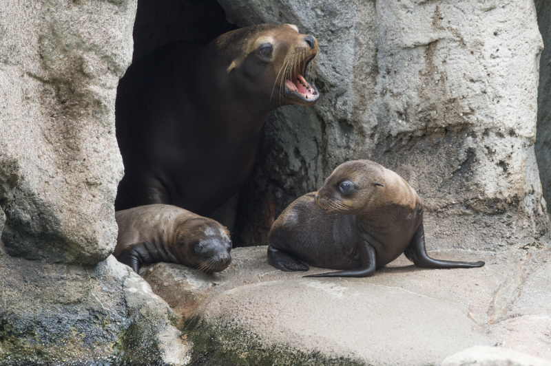 2_Julie Larsen Maher_1011_California Sea Lion and Pups_SLP_BZ_06 29 16