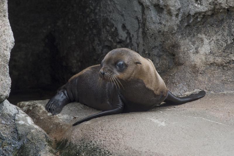 6_Julie Larsen Maher_1016_California Sea Lion and Pups_SLP_BZ_06 29 16