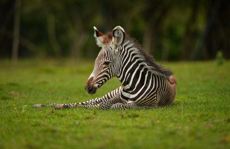 1_A baby zebra caught visitors to Chester Zoo by surprise after it was born in front of them. The foal was born to mum Nadine.  (7)