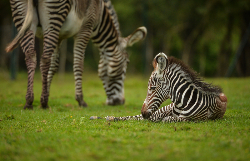 2_A baby zebra caught visitors to Chester Zoo by surprise after it was born in front of them. The foal was born to mum Nadine.  (6)