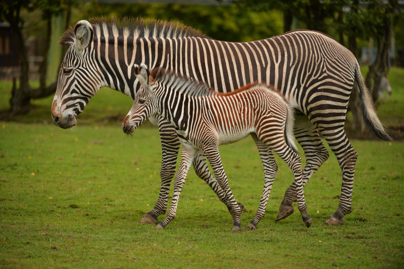 3_A baby zebra caught visitors to Chester Zoo by surprise after it was born in front of them. The foal was born to mum Nadine.  (63)