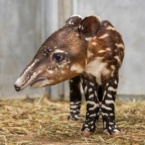 Baby Tapir Shows Off His Snout