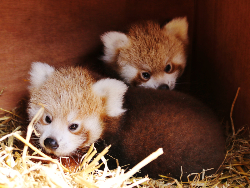 1_Baby red pandas at Longleat PIC Ian Turner