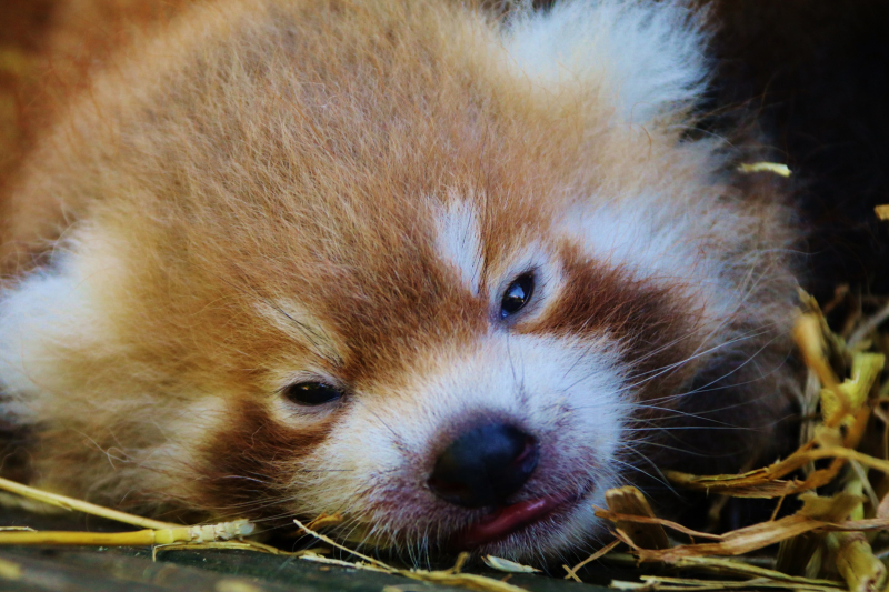 2_Close up of one of the red panda twins at Longleat PIC Ian Turner