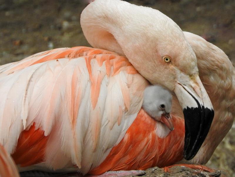 5_16_9_5_Flamingo chick_2_Maria_Dorrian
