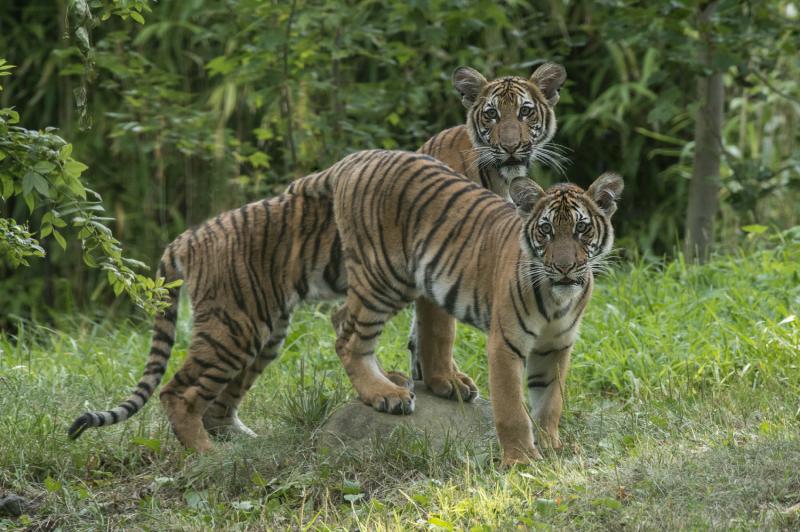 1_Julie Larsen Maher_4442_Malayan Tiger Cubs_TM_BZ_08 29 16