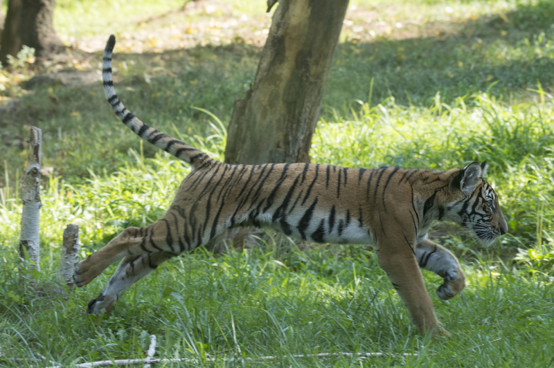 Malayan Tiger Cubs Debut At Bronx Zoo Zooborns