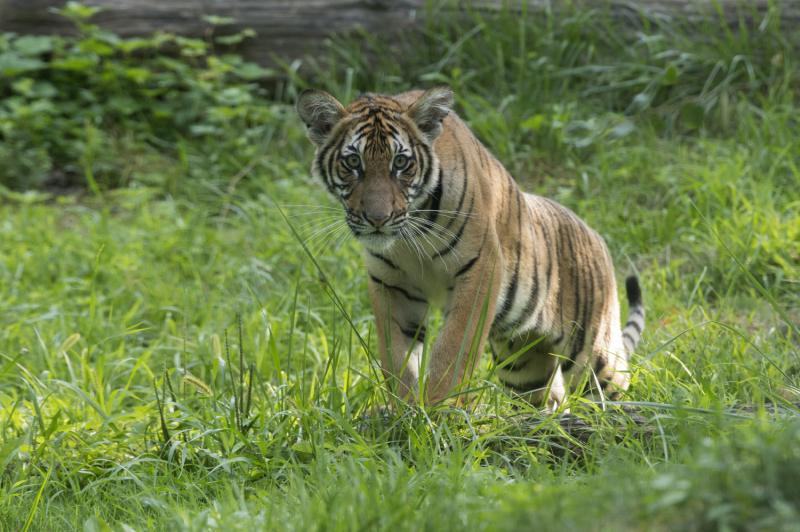 7_Julie Larsen Maher_4381_Malayan Tiger Cubs_TM_BZ_08 29 16