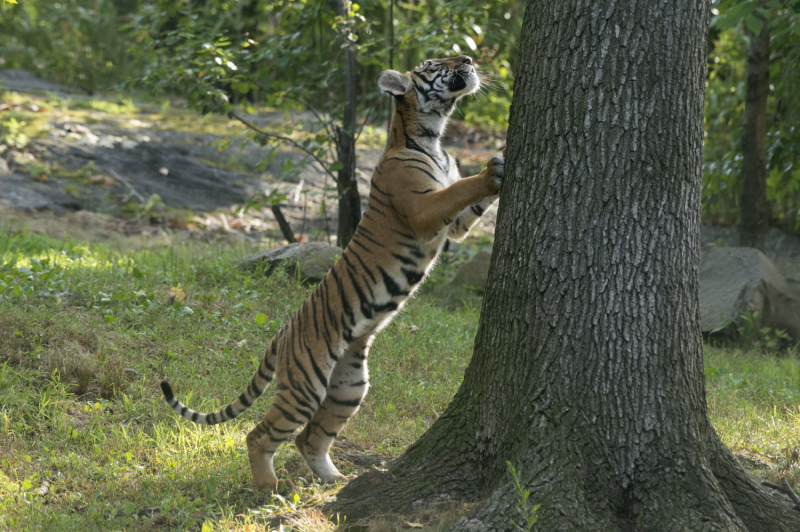 11_Julie Larsen Maher_4463_Malayan Tiger Cubs_TM_BZ_08 29 16