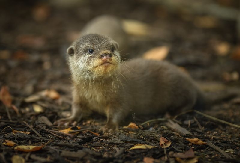 1_Chester Zoo's cute new otter pups given their first swimming lessons by mum Annie and dad Wallace (35) (1)