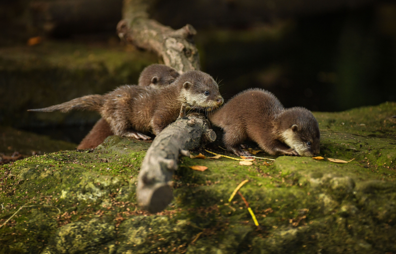 8_Chester Zoo's cute new otter pups given their first swimming lessons by mum Annie and dad Wallace (31)