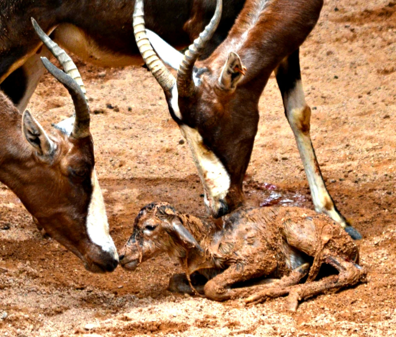 2BIOPARC Valencia - blesbok recién nacido - sept 2016 (2)