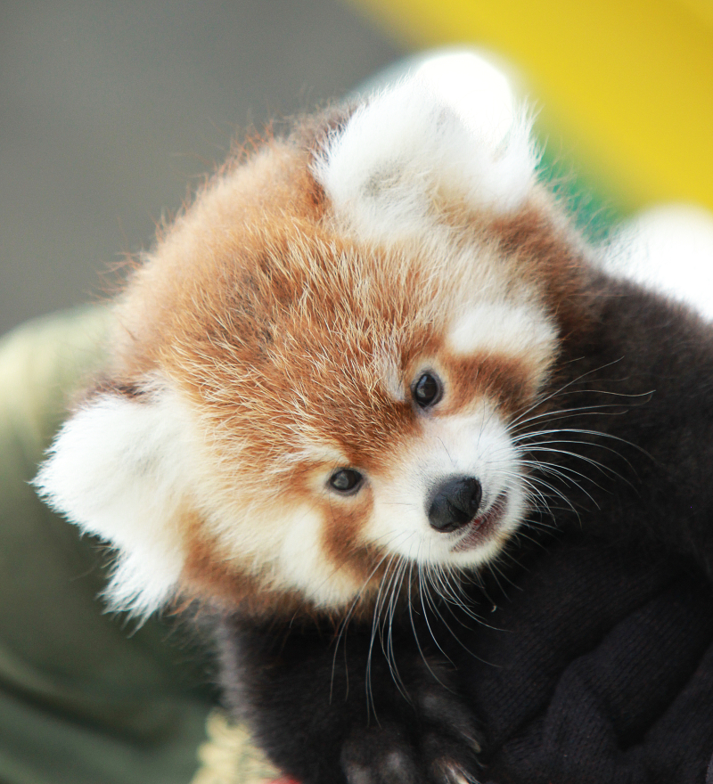 Now Hear This: Red Panda Cubs Make Their Debut - ZooBorns