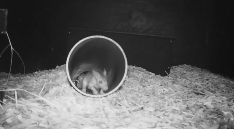 Chester Zoo breeds endangered jumping rat (2)