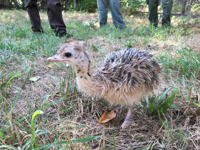 Ostrich chick (2)_Taken 9.8.16