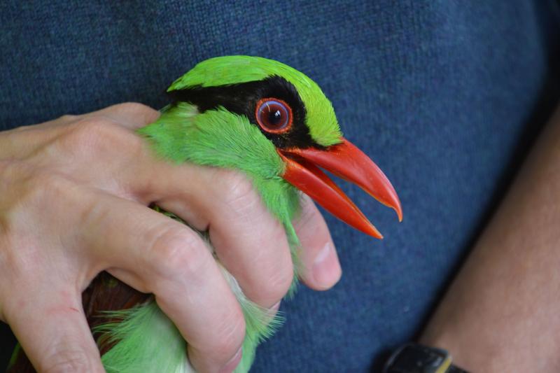 6_Javan green magpie vet check at Chester Zoo (4)