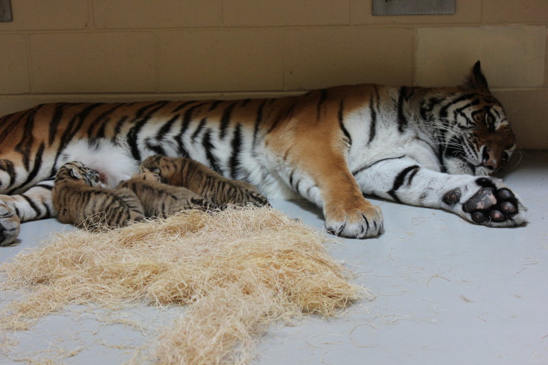3_Tiger cubs nursing