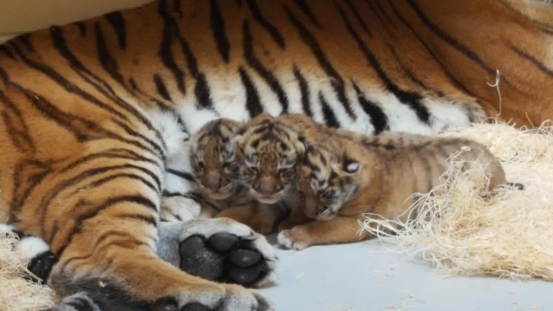 5_Tiger cubs in den