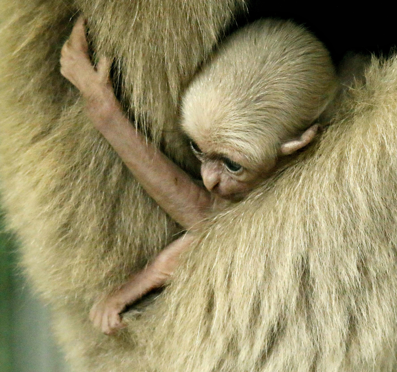 2016 10 PZ pileated gibbon baby by Miriam Haas 2