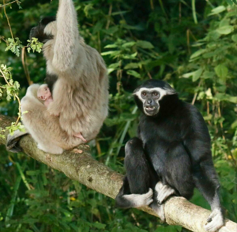 2016 10 PZ pileated gibbon baby 1