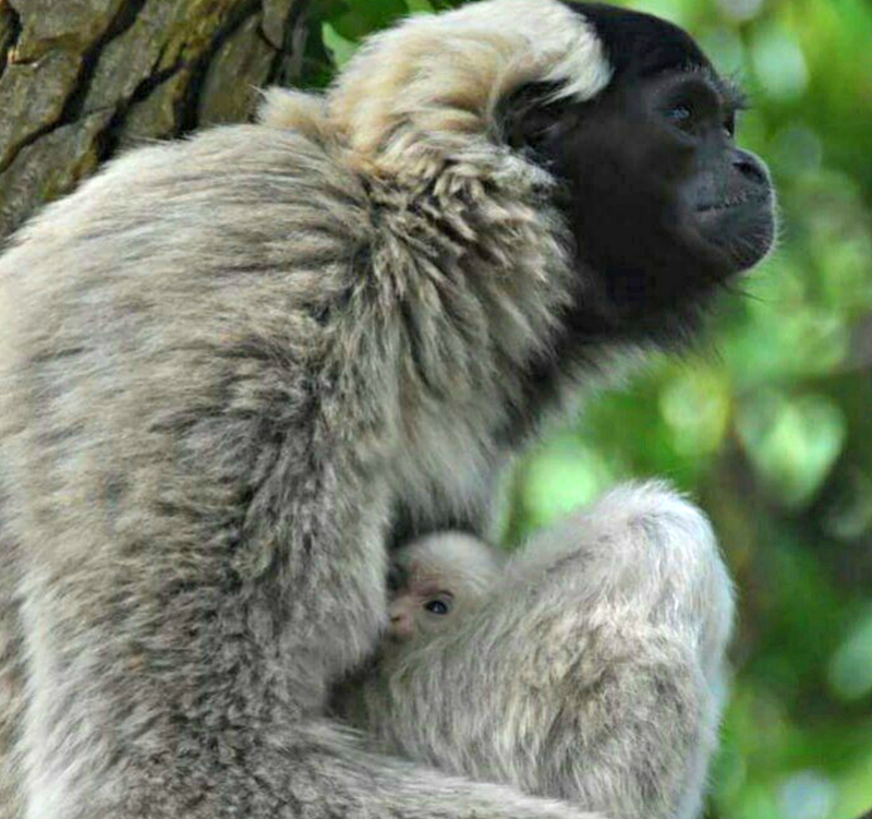 2016 10 PZ pileated gibbon baby 2