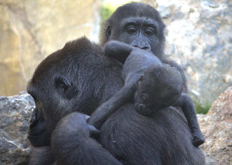 2_OCTUBRE 2016 - BIOPARC Valencia - La gorila Nalani y su bebé y Ebo