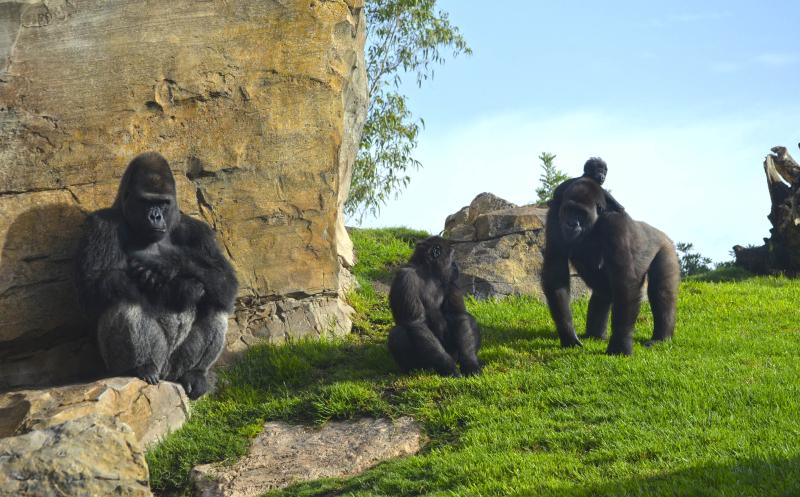 3_BIOPARC VALENCIA - Grupo reproductor de gorilas - MAMBIE, NALANI su bebé y el pequeño EBO (2)