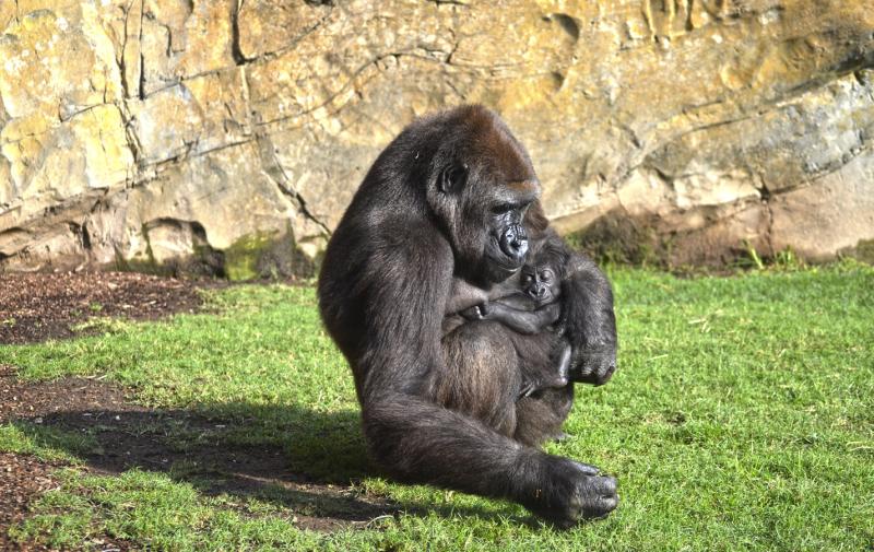 4_OCTUBRE 2016 - BIOPARC Valencia - La gorila Nalani y su bebé de 7 semanas de vida