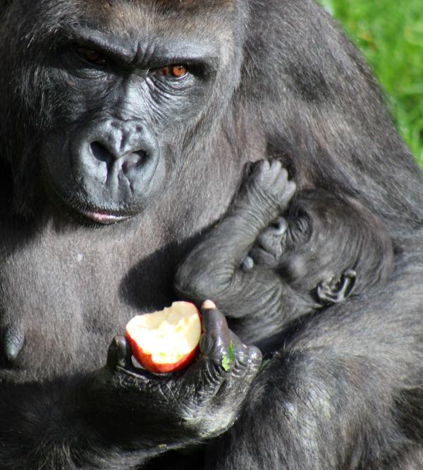 Belfast S Baby Gorilla Is A Girl Zooborns