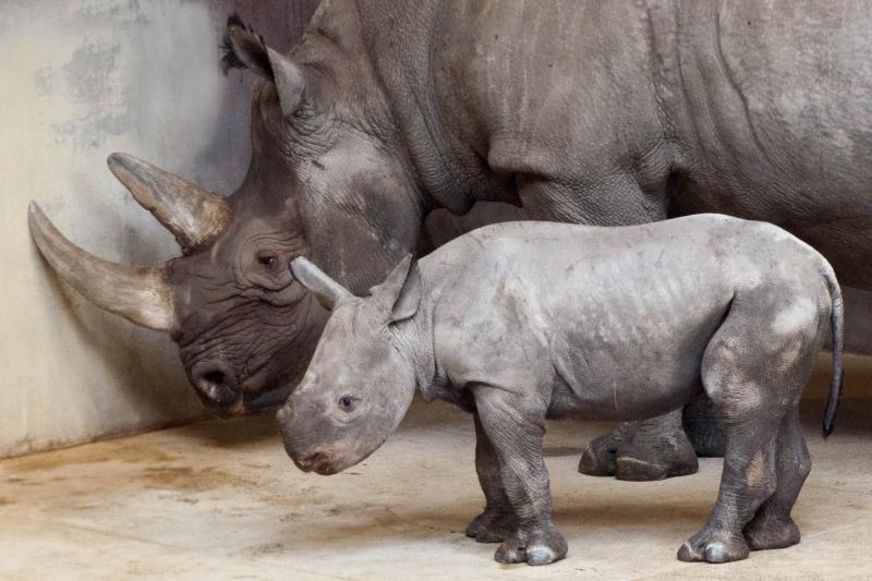 5_Rhino_calf_10-11-16