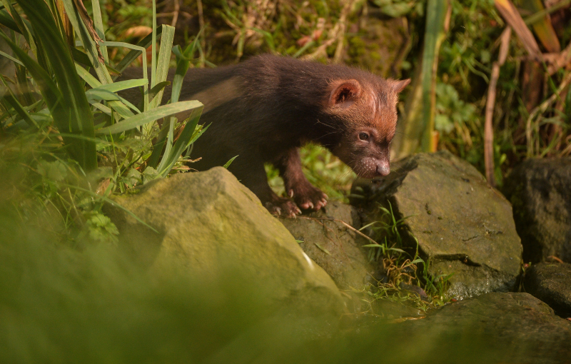 Two litters of bush dog pups have been born and started to venture outside for the first time at Chester Zoo (16)