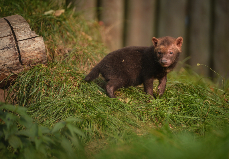 Two litters of bush dog pups have been born and started to venture outside for the first time at Chester Zoo (35)
