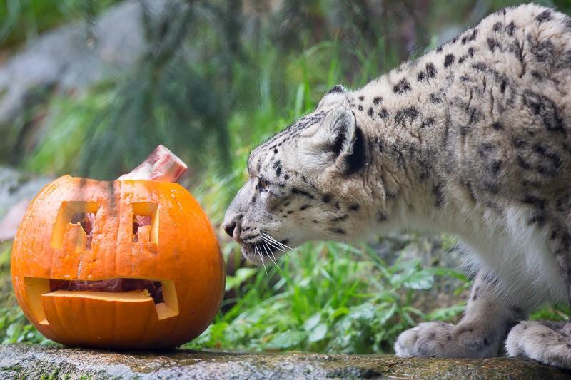 3_snow leopard_Woodland Park Zoo