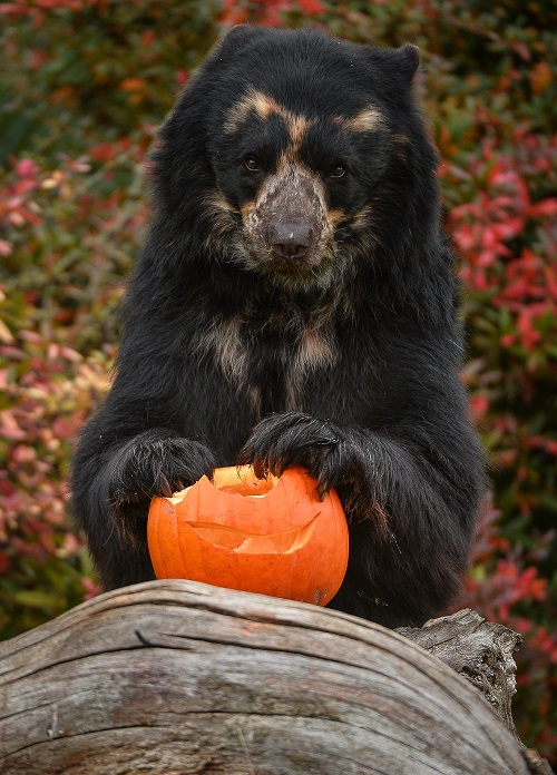6_Andean bear Bernie tucks into honey-coated treats at Chester Zoo on Pumpkin Day