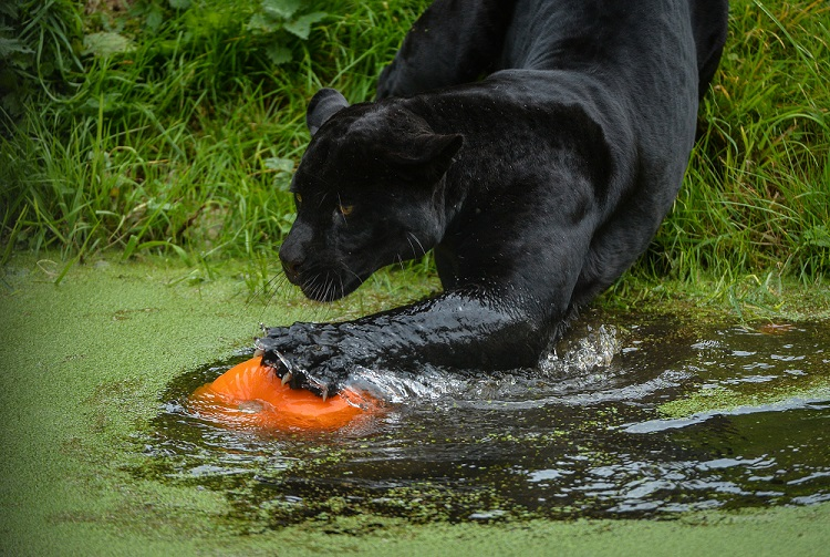 7_Black jaguar Goshi enjoys an early halloween treat and goes bobbing for pumpkins at Chester Zoo