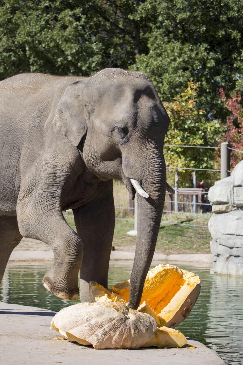 8_elephant_pumpkin_stomp_02_Denver Zoo