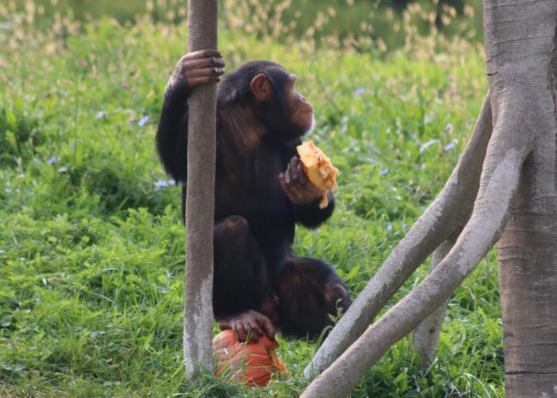 10_Chimpanzee - Pumpkin_Detroit Zoo_Jennie Miller