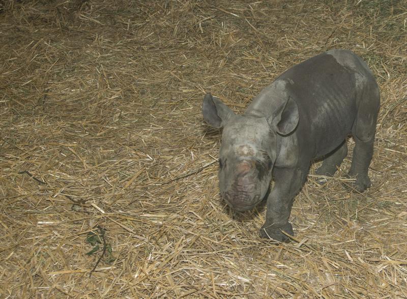 Howletts Wild Animal Park celebrates birth of black rhino 2