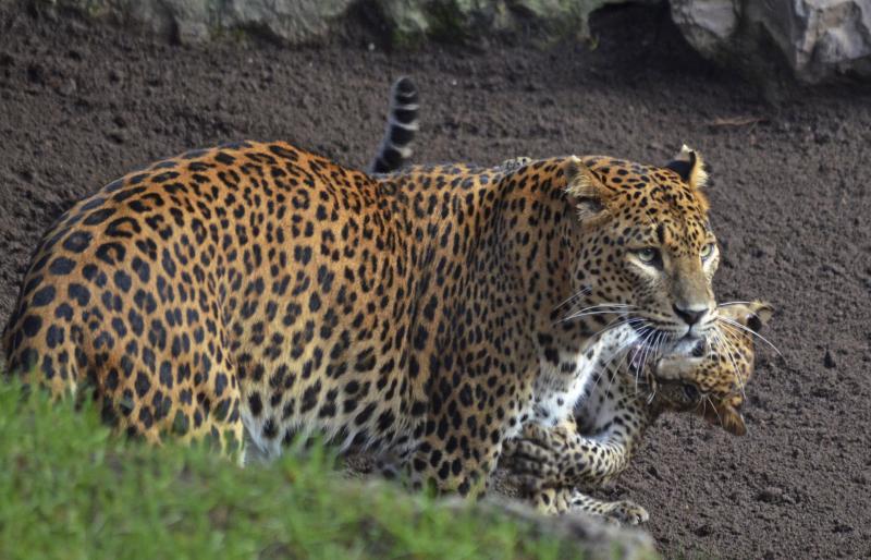 3_BIOPARC Valencia - leopardos - madre y cachorro (primer día en el bosque ecuatorial) (6)