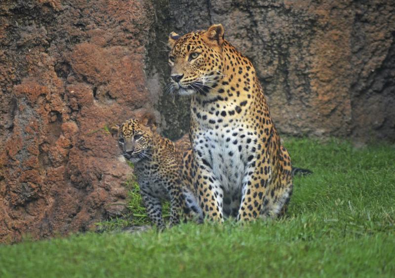 4_BIOPARC Valencia - leopardos - madre y cachorro (primer día en el bosque ecuatorial) (8)