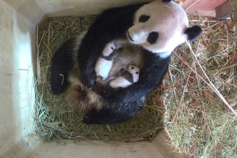 12_Pandazwillinge 4_September7